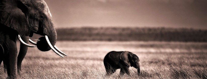 Leading the Way - Wildlife Photo of Baby Elephant Leading the Pack in Amboseli, Kenya