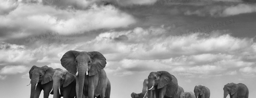 Elephant family with matriarch in front. AMBOSELI, KENYA