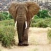 big-samburu-ellephant