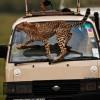 cheetah in Tsavo