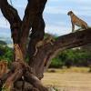 cheetah_amboseli