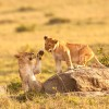 lion cubs in Tsavo