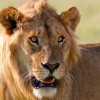 lion_by_masai mara