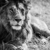 21-Lion-Serengeti-Tanzania