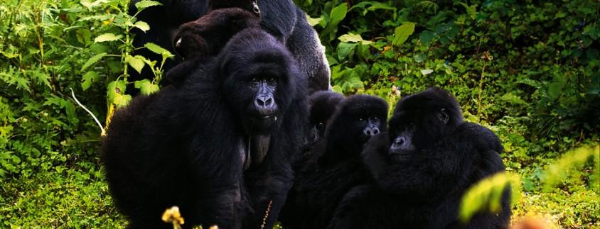 Gorila Tracking safari & Lake Kivu rwanda-gorilla