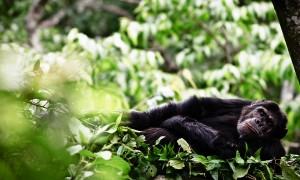 Gorilla Tracking safari nyungwe-chimps