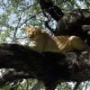 tree-lion